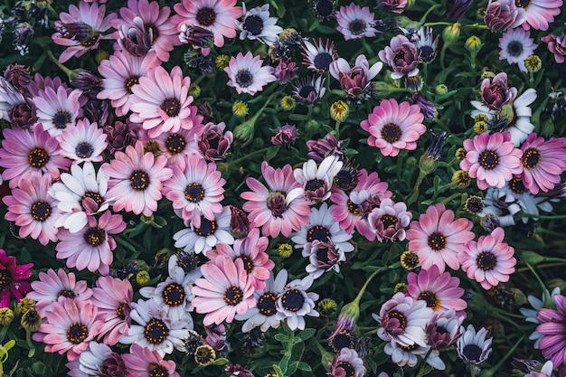 Kwiaty Osteospermum 'soprano Purple' Powszechnie Znanej Jako African Daisy Lub Cape Daisy Premium Zdjęcia