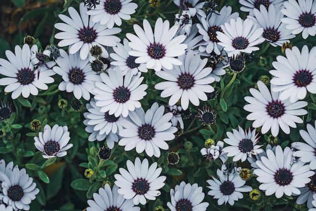 Kwiaty Osteospermum 'soprano White' Powszechnie Znanej Jako African Daisy Lub Cape Daisy Premium Zdjęcia