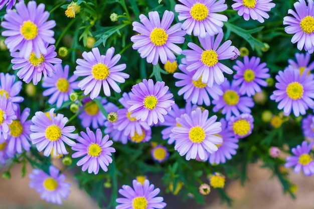Kwiaty Stokrotki Z Bliska Premium Zdjęcia