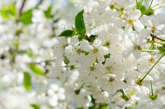 Kwiaty wiśni. białe wiosenne kwiaty z bliska. nieostrość wiosna sezonowe tło. Premium Zdjęcia