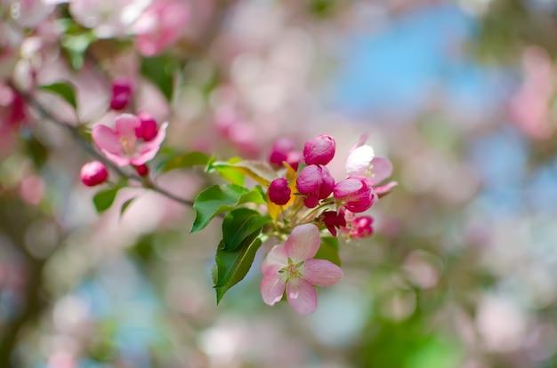 Kwitnąca gałąź jabłczani kwiaty i pączki jabłko. gałąź jabłoń z zielonymi liśćmi. koncepcja wiosna. Premium Zdjęcia