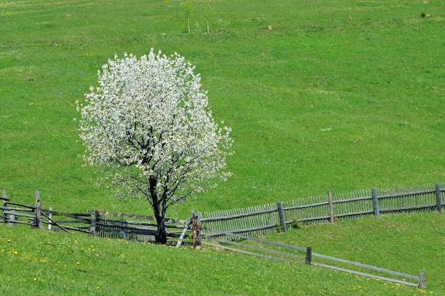 Kwitnąca Jabłoń Na Halnym Pastwisku Wiosną Premium Zdjęcia