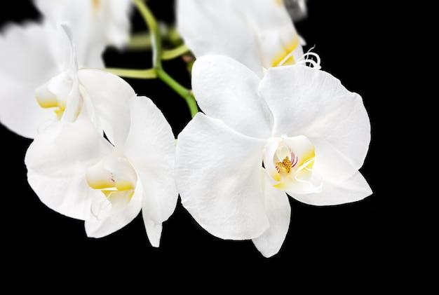 Kwitnąca Piękna Biała Orchidea Phalaenopsis Na Czarnym Tle Premium Zdjęcia