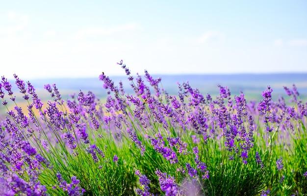 Kwitnące Pole Lawendy W Słoneczną Pogodę W Lecie. Premium Zdjęcia