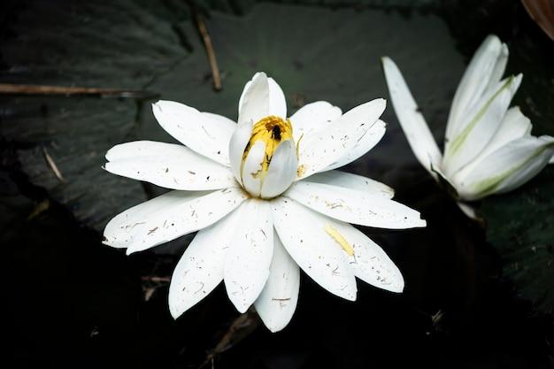 Kwitnący kwiat lotosu na wodzie Darmowe Zdjęcia