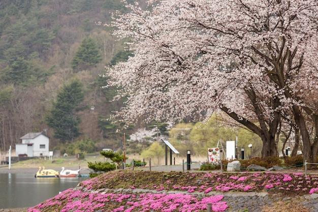 Kwitnący kwiat wiśni z różowym mchem na pierwszym planie jeziora kawaguchiko na północnym brzegu Premium Zdjęcia