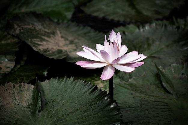 Kwitnący zbliżenie lilia wodna Darmowe Zdjęcia