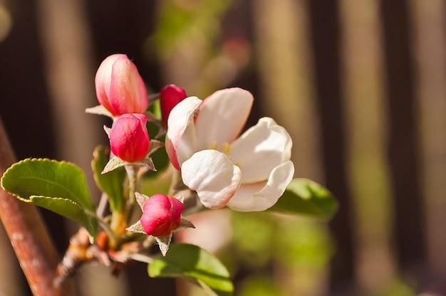 Kwitnienia Jabłoni Kwiaty Ogrodowe Letnie Drzewo Zdjęcie Darmowe
