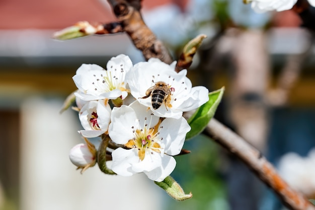 Kwitnienie Wiśniowego Drzewa Owocowego W Mołdawii Premium Zdjęcia