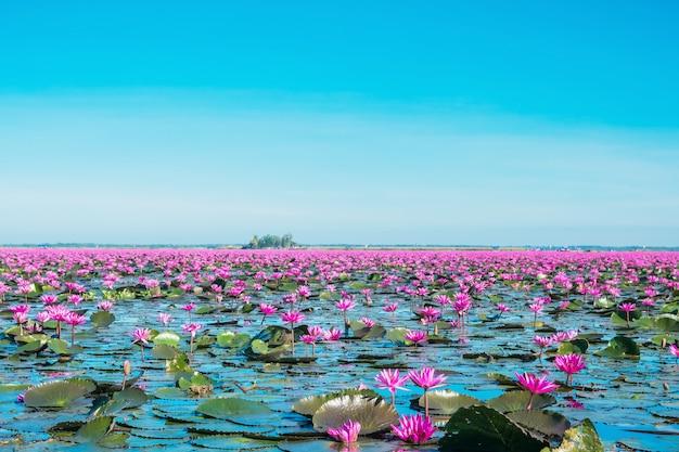 Kwitnij Kwiaty Lilii Wodnej Nad Jeziorem, Cudowny Różowy Lub Czerwony Krajobraz Lilii Wodnej Mlooming Premium Zdjęcia
