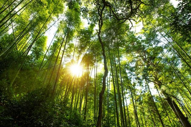 Kyoto, japonia w bambusowym lesie. Premium Zdjęcia
