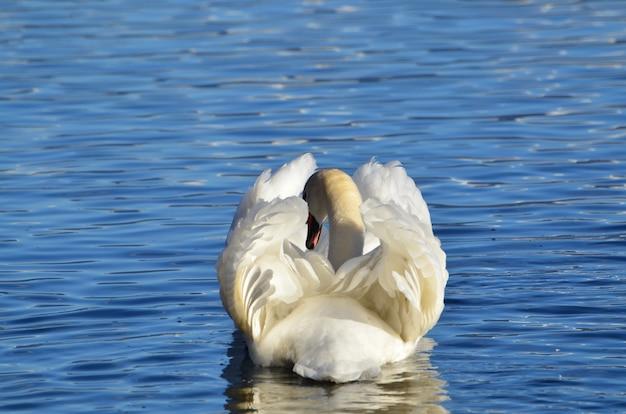 Łabędź Biały Pływający Po Jeziorze O Pięknej Formie Odpoczynku Darmowe Zdjęcia