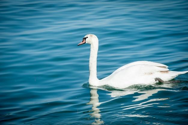 Łabędź na jeziorze Premium Zdjęcia