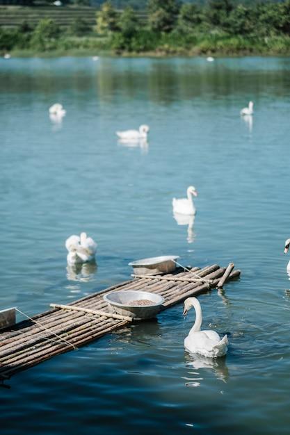 Łabędzie W Jeziorze Darmowe Zdjęcia