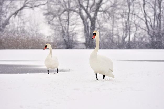 Łabędzie Zimą. Piękny Ptasi Obrazek W Zimy Naturze Z śniegiem. Darmowe Zdjęcia