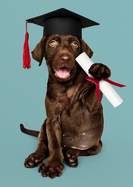 Labrador szczeniak ukończeniu Premium Zdjęcia