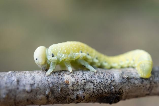 Ładna Gąsienica Brzozowa (cimbex Femoratus) żerująca Na Brzozie Brodawkowatej W Lesie Premium Zdjęcia