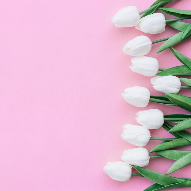 Ładna kompozycja z białymi tulipanami na pastelowym różowym tle z copyspace po lewej si Darmowe Zdjęcia