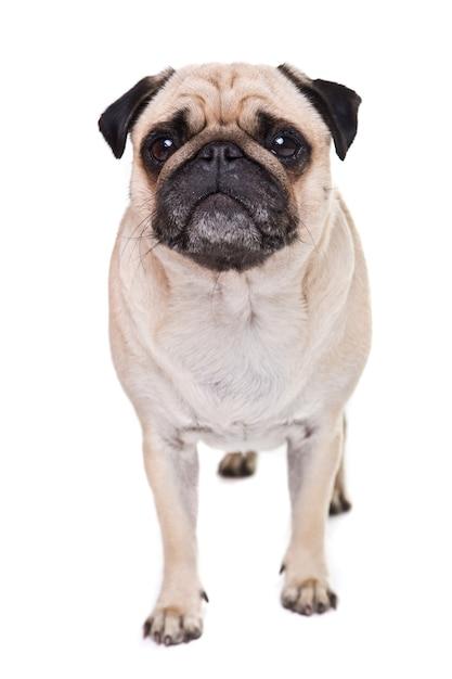 Ładny Mops Pies Na Białym Tle Na Białej ścianie Darmowe Zdjęcia