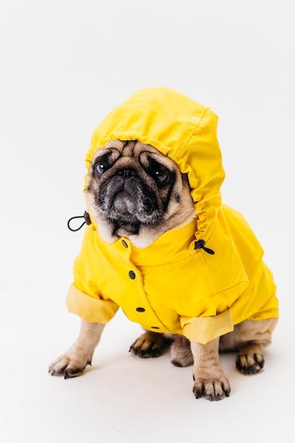 Ładny pies siedzi w żółtym garniturze Darmowe Zdjęcia