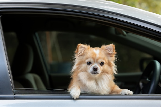 Ładny Pies Siedzieć W Samochodzie. Premium Zdjęcia