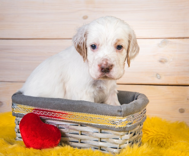 Ładny Pies Szczeniak Seter Angielski W Drewnianym Koszu. Premium Zdjęcia