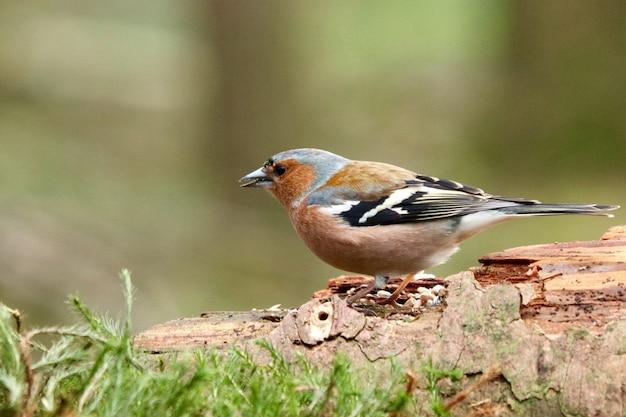 Ładny Ptak Brambling W Lesie Na Tło Zamazane Pole Darmowe Zdjęcia