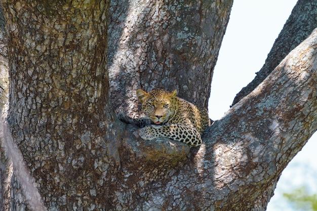 Lampart Odpoczywa Na Gałęzi Drzewa. Serengeti, Tanzania Premium Zdjęcia