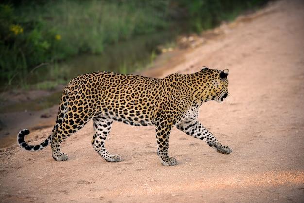 Lampart Sri Lanki W Parku Narodowym Yala Premium Zdjęcia