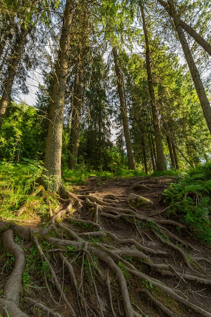 Las Sosnowy Rano. Premium Zdjęcia