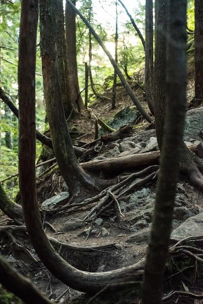 Las Z Szerokimi Korzeniami Pokrywającymi Skały Premium Zdjęcia