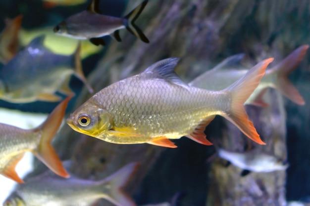 Łatwa ryba rzeczna Premium Zdjęcia