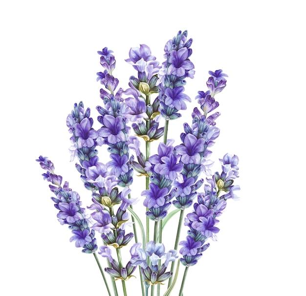 Lavandula Aromatyczne Kwiaty Ziołowe. Premium Zdjęcia