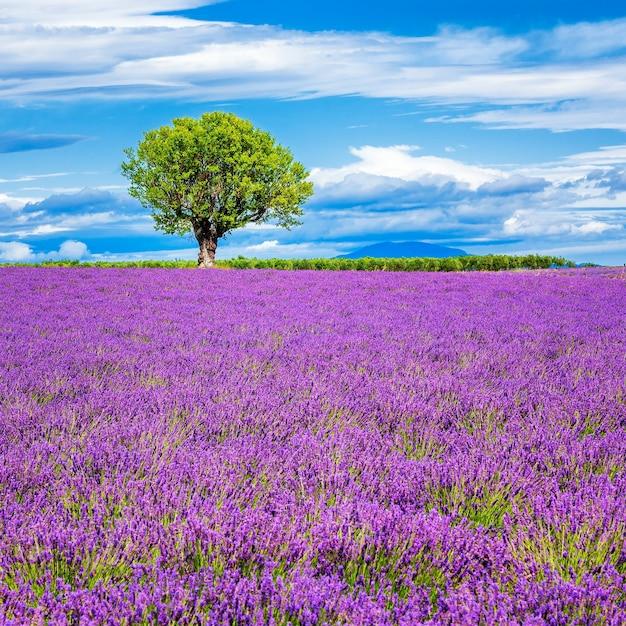 Lawendowe Pole Z Drzewem We Francji Darmowe Zdjęcia
