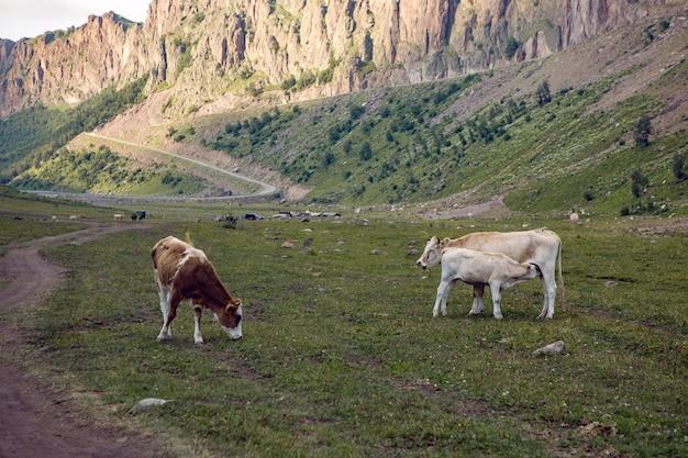 Letnia Droga W Górach Z Chodzącymi Krowami Na Kaukazie Premium Zdjęcia