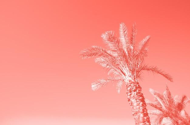 Letnie palmy nad koralowym kolorem nieba. koncepcja wakacji i podróży. skopiuj miejsce Premium Zdjęcia