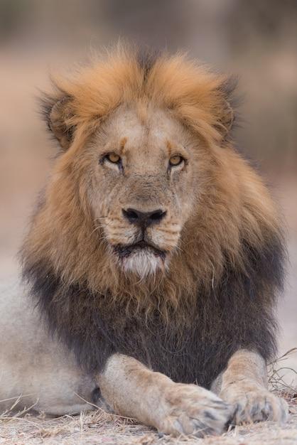 Lew Leżący Na Ziemi, Patrząc W Kierunku Darmowe Zdjęcia