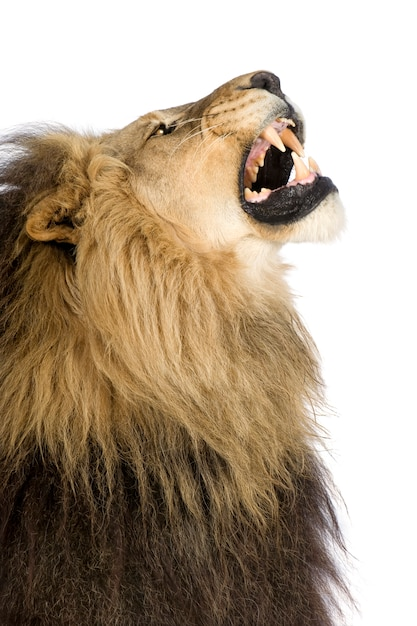 Lew, Panthera Leo Na Bielu Odizolowywającym Premium Zdjęcia
