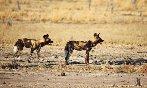 Likaon Pictus Afrykańskie Dzikie Psy Premium Zdjęcia