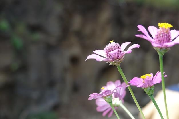 Lilac Kwiaty Z Nieostre Tło Darmowe Zdjęcia
