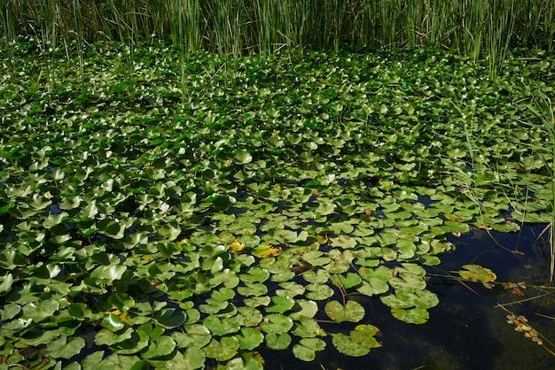 Lilie Wodne Na Jeziorze Darmowe Zdjęcia