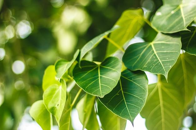 Liść Drzewa Pho Premium Zdjęcia