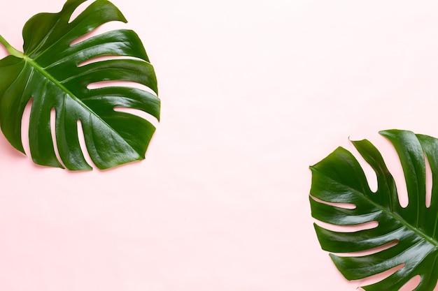 Liść Monstery W Kolorze. Liść Palmowy, Prawdziwa Roślina Szwajcarskiego Sera Z Tropikalnej Dżungli Widok Płaski I Górny. Premium Zdjęcia