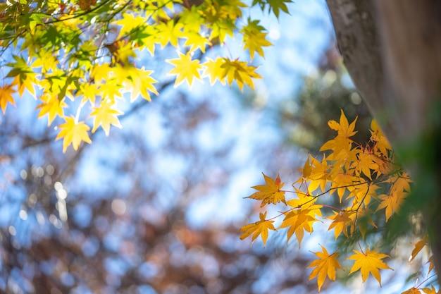 Liście klonu zmieniają kolor. od zielonego do żółtego, aż w parku osiągnie kolor czerwony. Premium Zdjęcia