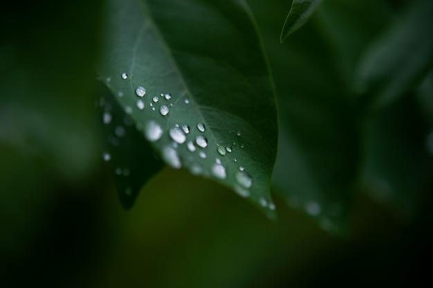 Liście rosy, krople deszczu utrzymujące się na zielonych liściach po deszczu Premium Zdjęcia
