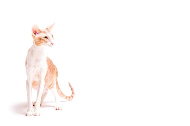 Lojalny Cornish Rex Kot Odizolowywający Na Białym Tle Zdjęcie
