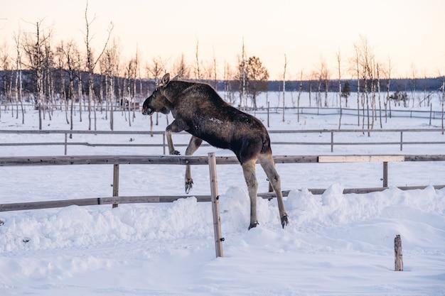 Łoś Przeskakujący Drewniany Płot Na Północy Szwecji Darmowe Zdjęcia