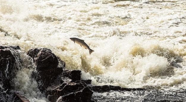 Łosoś Atlantycki, Salmo Salar, Skacząc W Burzliwych Wodospadach W Kristiansand W Norwegii Premium Zdjęcia