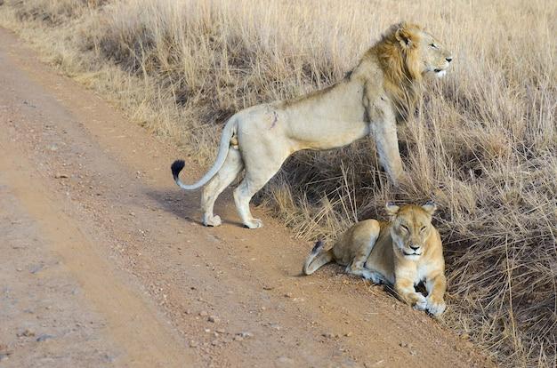Lwa I Lwicy Para W Sawannie, Afryka, Masai Mara Park Narodowy W Kenja Premium Zdjęcia