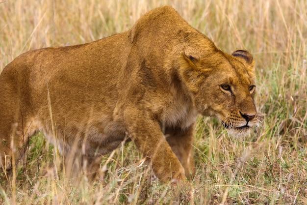 Lwica Skrada Się Do Ofiary. Kenia, Afryka Premium Zdjęcia